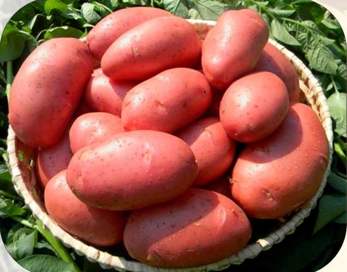 Kartofel_semennoj_labella_2_reprodukciya